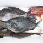 fathom LEVELハリス(プロトモデル)での釣果 イサキ、カワハギなど