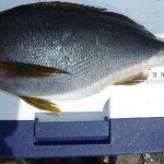 fathom LEVELハリス(プロトモデル)での釣果 イサキ39cm、口太グレ40cmなど