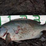 fathom LEVELハリスでの釣果 口太グレ46cm、アイゴ、マダイなど