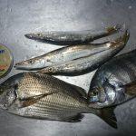fathomハリス LEVEL1.5に関する記事【fathomテクニカルモニター楠本様】エビ撒き釣り、シラサエビ入手方法について