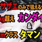 サザエのみで狙える対象魚 |カンダイ10kgオーバー&タマン(ハマフエフキ)80クラス編