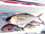 【杉本隼一様】初秋の海上釣り堀釣行 LEVELシリーズの特性を活かす「ハリス通し」のミャク釣り